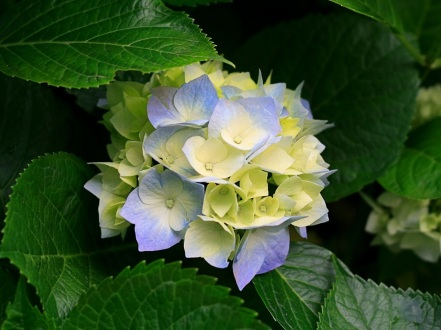 Hydrangeas Like acidic soil and shade