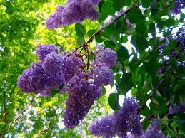 Lilac bushes are a great choice for Ohio landscapes because they thrive in alkaline soil.